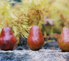 Three Pears (1 of 1)